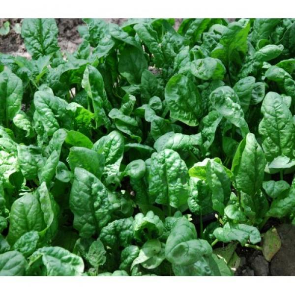 Giant Noble Spinach Seeds
