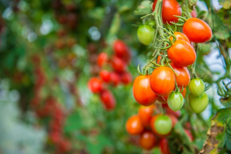 Tommy Toe Cherry Tomato Seeds