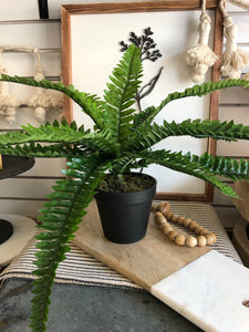 Large Potted Boston Fern
