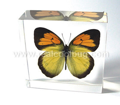 BF02<br />Yellow Orange Tip Butterfly