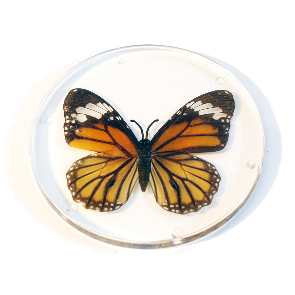 CT8052<br/> Common Tiger Butterfly Coaster