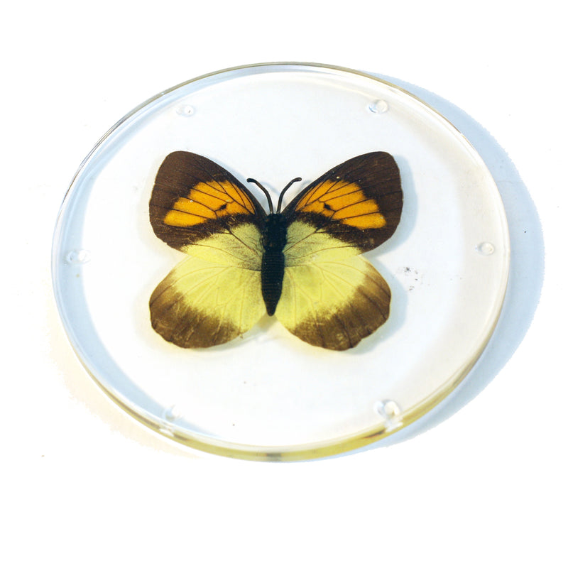 CT8053<br/>Yellow Orange Tip Butterfly Coaster