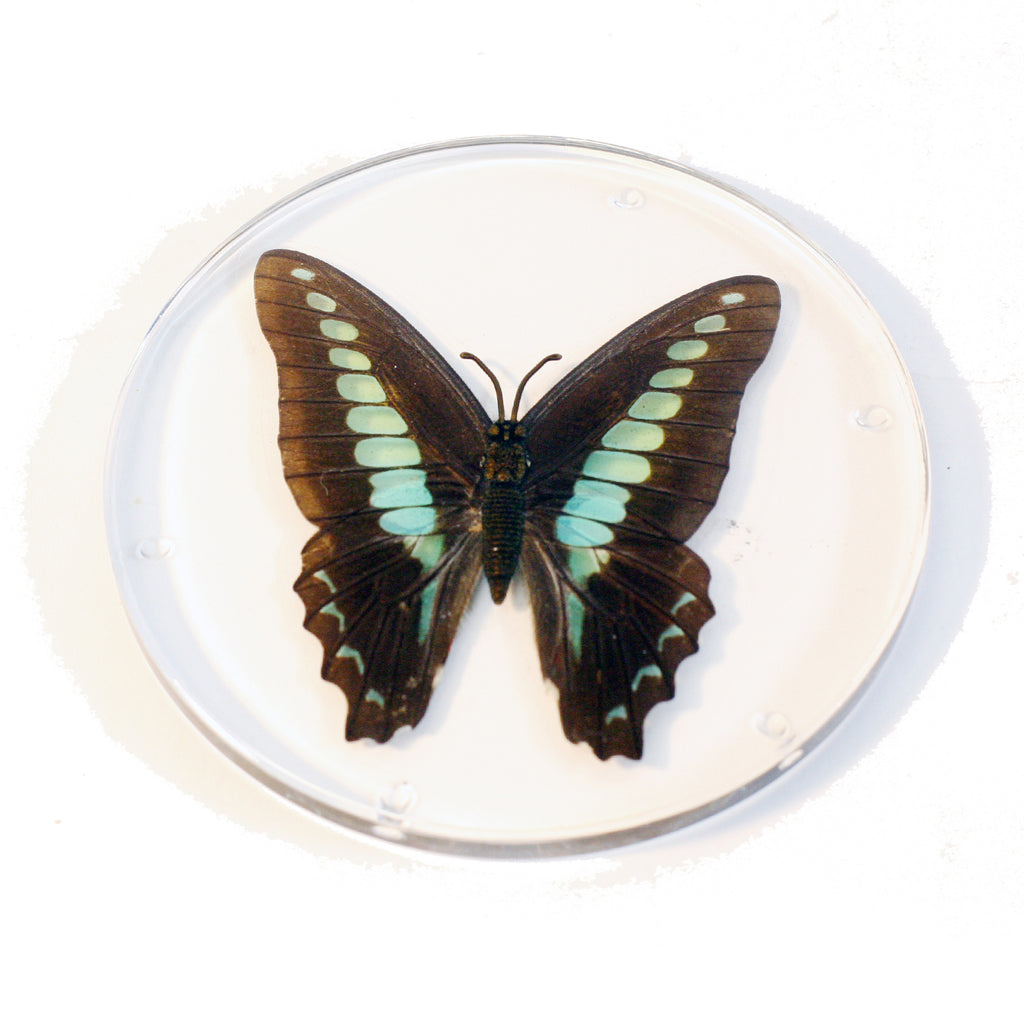CT8054<br/> Common Blue Bottle Coaster