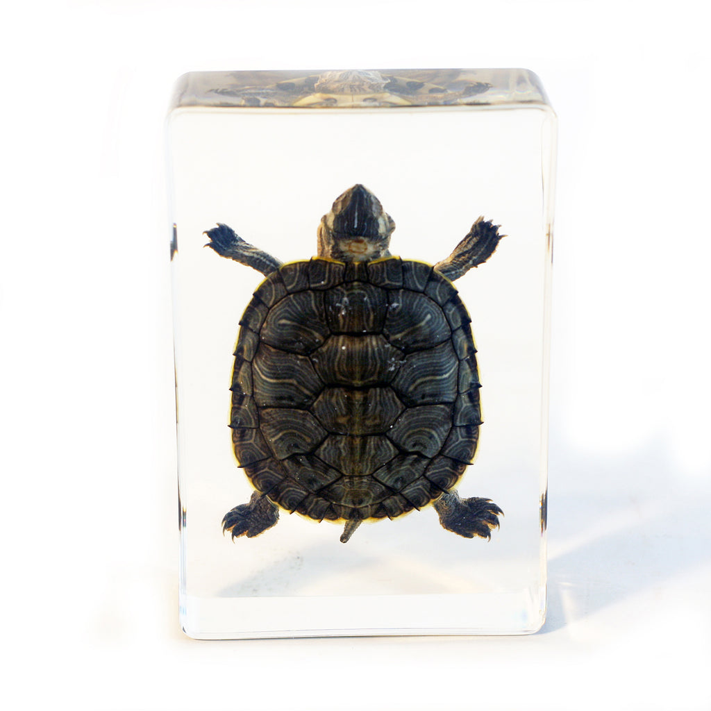DD36<br/> Desk Decoration, Large Turtle