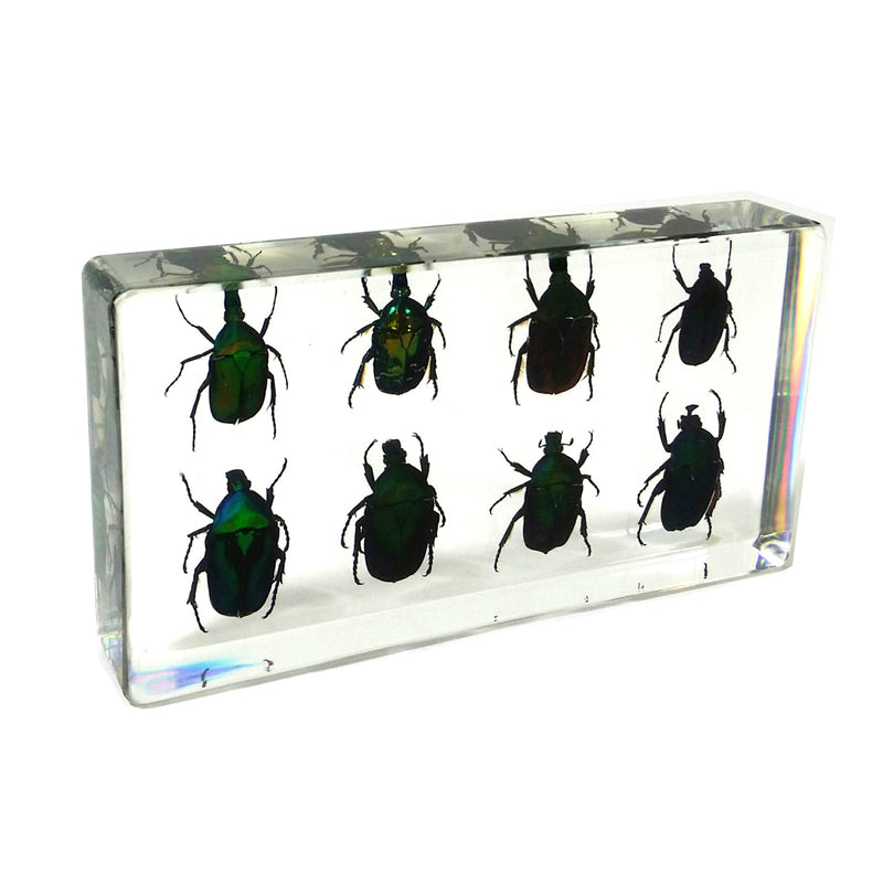 DD41<br />8 Green Chafer Beetles Desk Decoration<br />