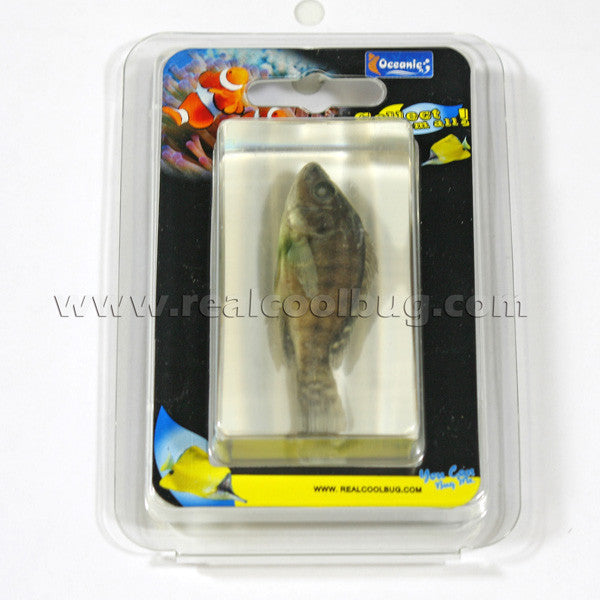 FH202<br/>Nile Tilapia Paperweight