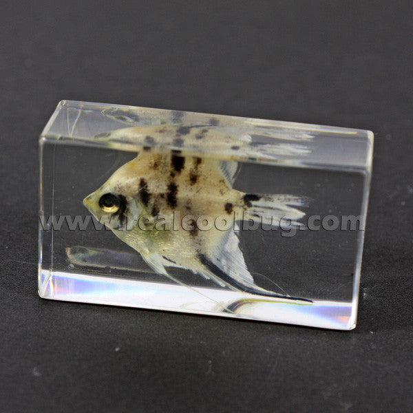 FH204<br/>Angel Fish Paperweight