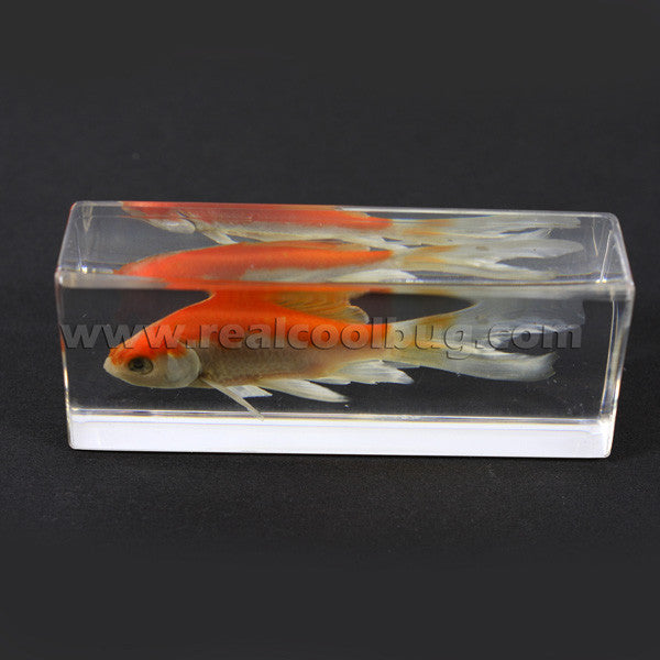 FH304<br/>Common Goldfish Paperweight