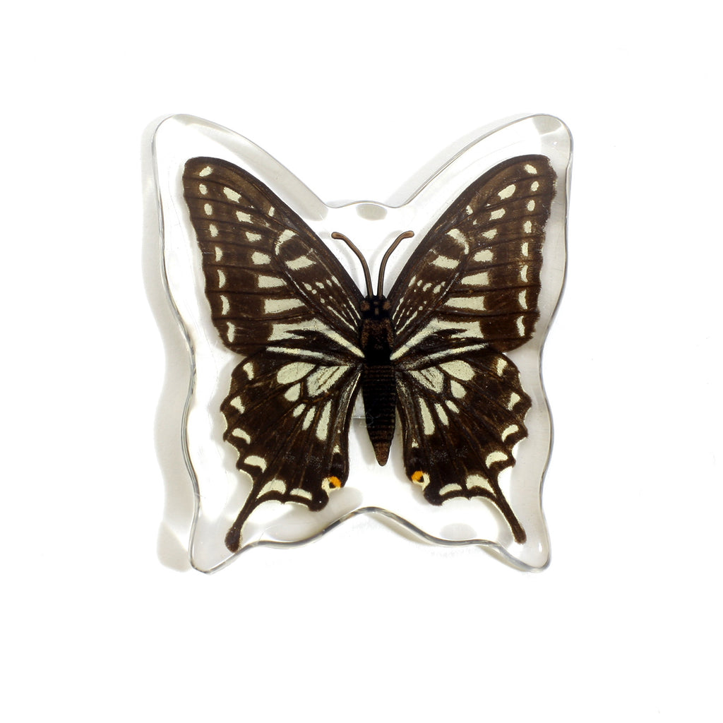 MT502<br />Asian Swallowtail Butterfly