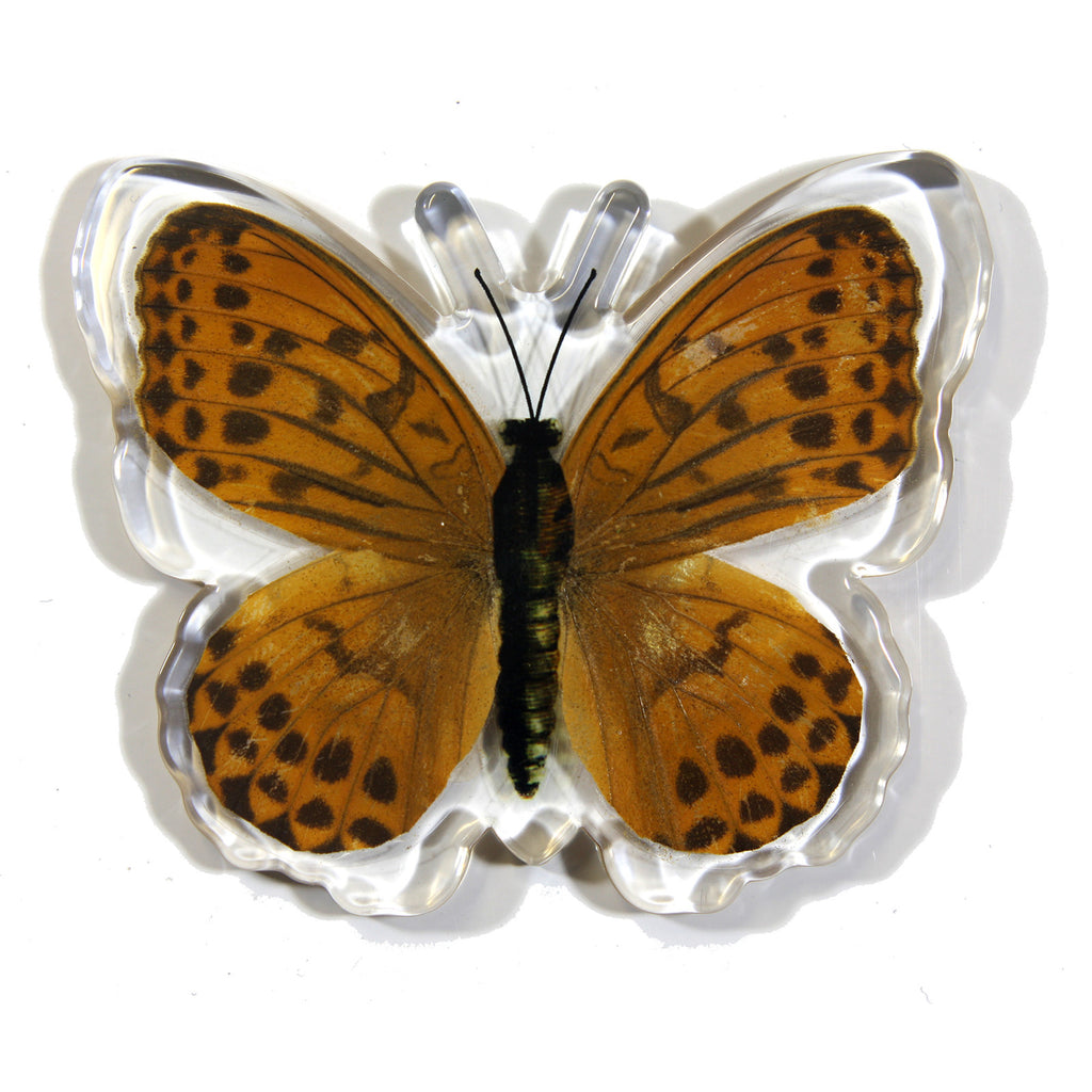 MT505<br />Indian Fritillary Butterfly