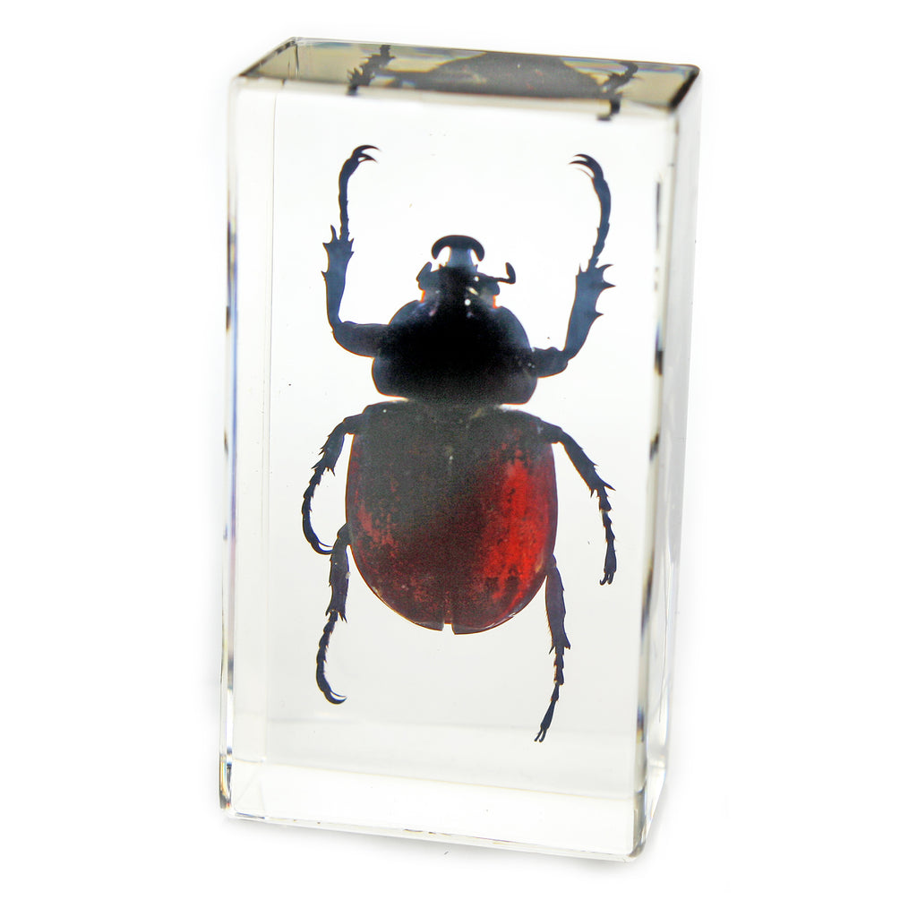 PW208<br />Rhinoceros Beetle