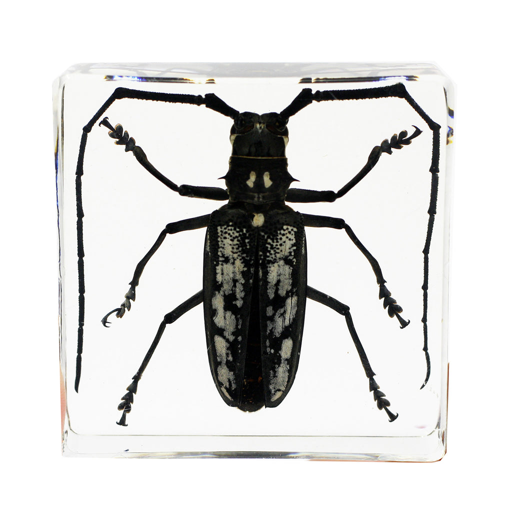 PW401<br/>Real Longhorned Beetle Paperweight (PW401)