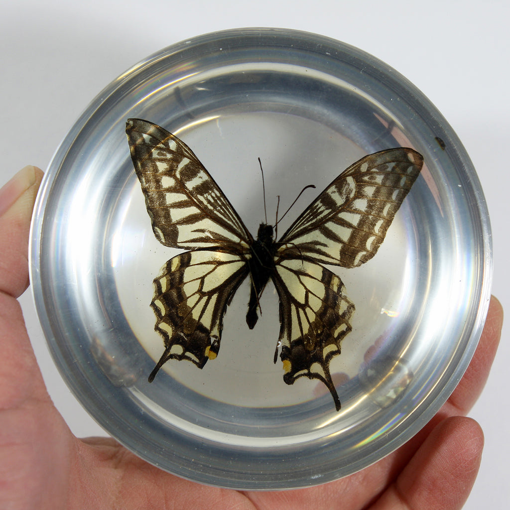 SS281<br/>Asian Swallowtail Butterfly Dome