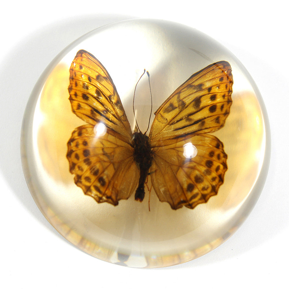 SS283<br/>Indian Fritillary Butterfly Dome