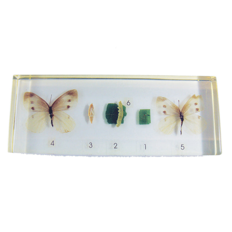 Imported Cabbageworm Life Cycle (TL01-1)