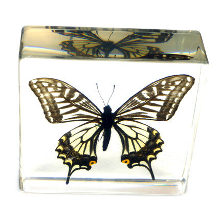 BF12<br/>Asian Swallowtail Butterfly