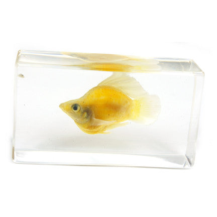 FH205<br/>SailFin Molly Paperweight