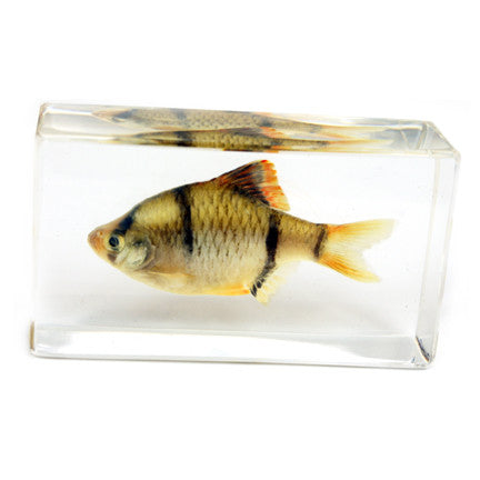 FH206<br/>Tiger Barb Paperweight