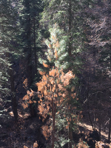 Pine tree that is green on the top and brown on the bottom from the heat of the Bighorn Wildfire