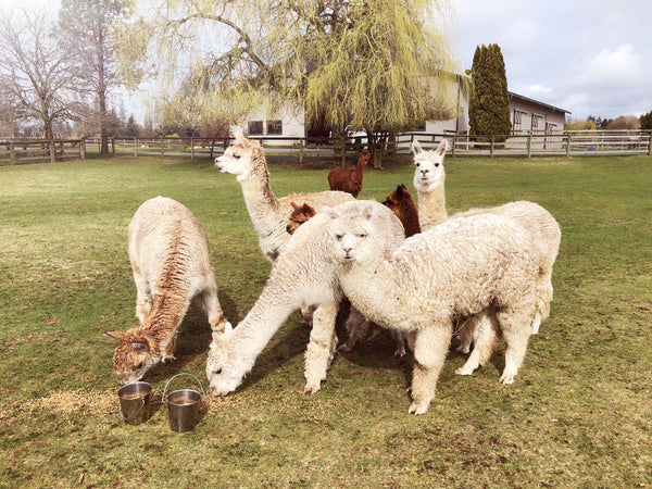 Tour, Kensington Prairie Farm Alpacas