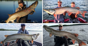 Minnesota Musky Opener (Tips & Tactics) – Giant Muskies – Favorite Spots & Baits