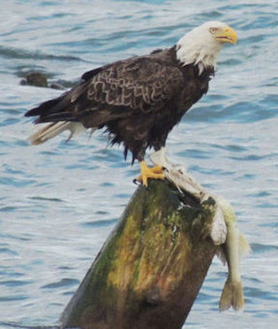 Eagle Eating Walleye