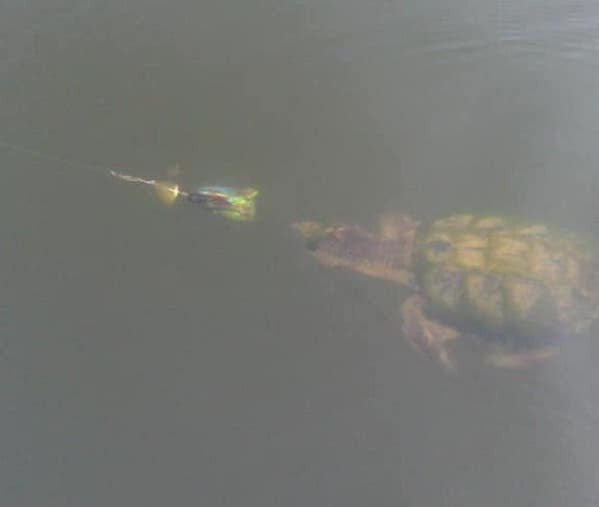 Turtle Followng Muskie Bucktail