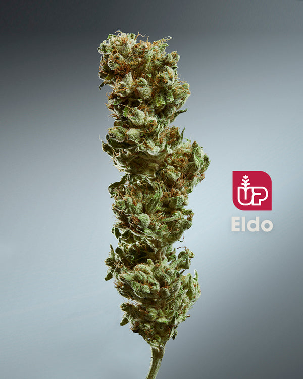 UP Eldo Dried Flower (Ghost Train Haze)
