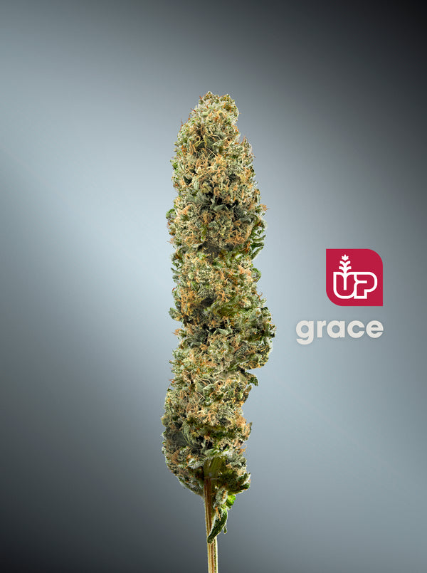 UP Grace Indica Dried Flower (Cold Creek Kush)