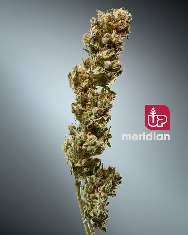 UP Meridian Dried Flower (Ghost Train Haze)