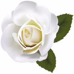 White Rose of Abundantia™ - Abundance & Peace