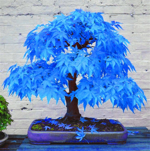 RARE SKY BLUE BONSAI TREE