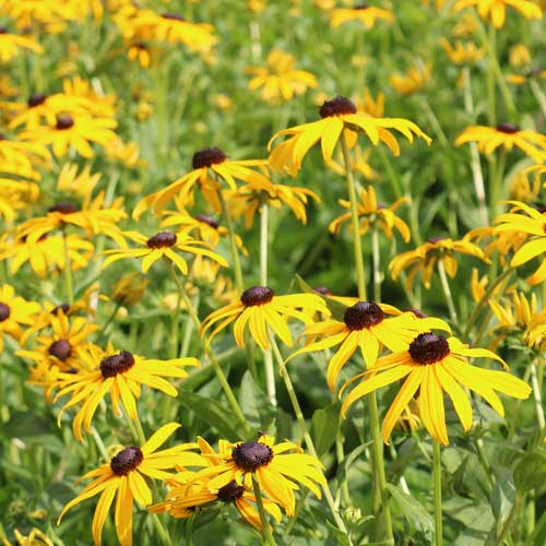 black eyed susan flowers.  Yellow pedals with brown center