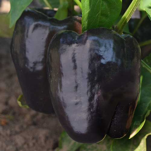 Purple Beauty Pepper Seeds