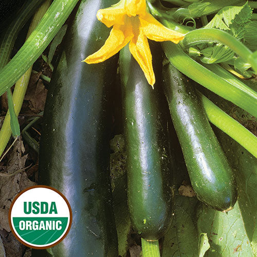 3 GREEN-BLACK, ORGANIC, BLACK BEAUTY ZUCCHINI WITH A YELLOW BLOSSOM, GREEN VINES, AND LEAVES. A SUMMER SQUASH THAT MATURES IN 45 TO 65 DAYS. BEST EATEN UNDER 8 INCHES LONG.