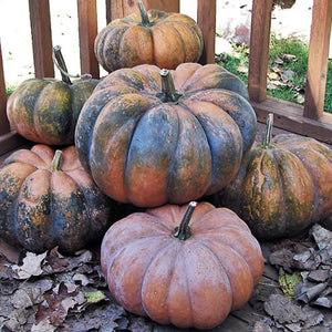 6 'MUSGUEE DE PROVENCE' FRENCH SQUASH | VARIETY AROUND SINCE 1895 | HISTORIC 'CHEESE' PUMPKIN (LOOK LIKE WHEELS OF CHEESE) | GO FROM GREEN TO BURNT SIENNA | UP TO 20 POUNDS | LONG SHELF LIKE | NOT SO GOOD IN THE COLD.