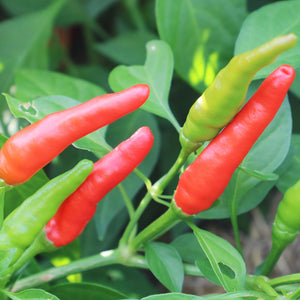 Rooster Spur Organic Pepper Seeds