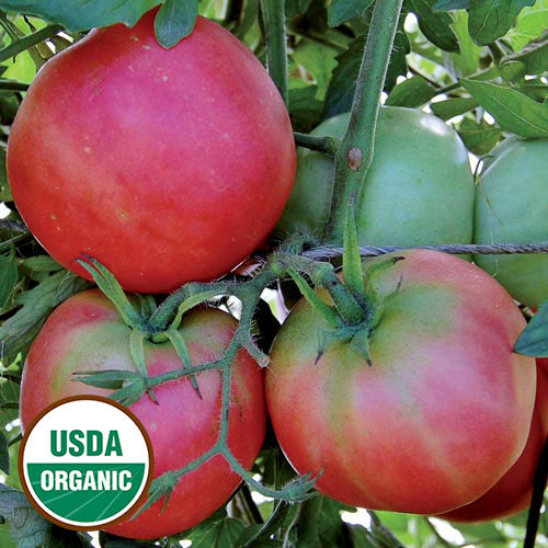 Peach Blow Sutton Tomato Seeds