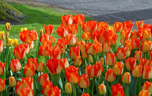 Tulip Bulbs | American Dream | Triumph | 5 bulbs - Yellow based flowers with fire engine red edge, changes color.