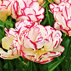 Tulip Bulbs - 'Belicia' - 5 bulbs - Semi-double Flower | Late | White w/red tips