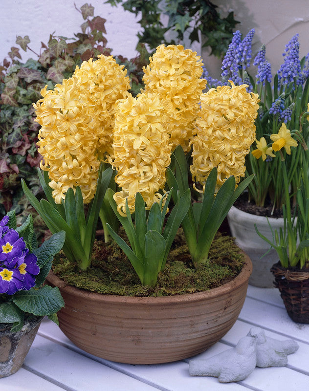 Hyacinth Bulbs - City of Haarlem- 5 bulbs -Soft buttery yellow flowers. Fragrant.