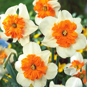 Daffodil Bulbs - Parisienne - 5 bulbs -Spilt cup - Butterfly daffodil  White with orange