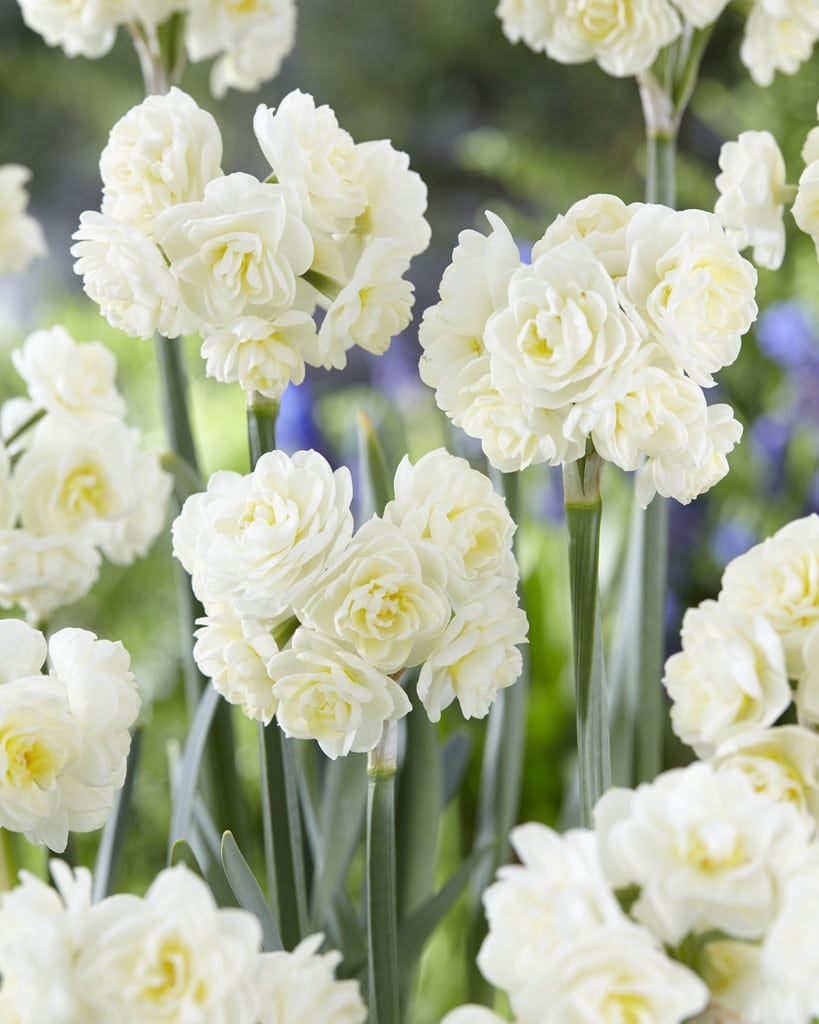 Daffodil Bulbs - Erlicheer- 5 bulbs -Lovely fragrant bouquet, creamy flowers with honey yellow inside.