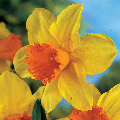 Fragrant | Daffodil Bulbs - Fortissimo- 5 bulbs -Yellow flowers, large bright orange cup.