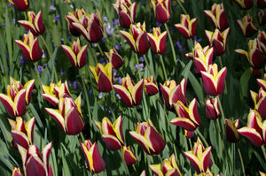 Gavota | Bi-color Bulbs | 5 bulbs | Burgundy with yellow tips
