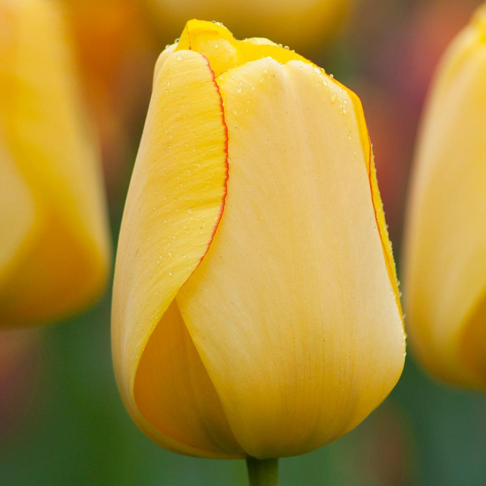Tulip Bulbs - Golden Parade - 5 bulbs -Large Soft Yellow to Bright Yellow inside