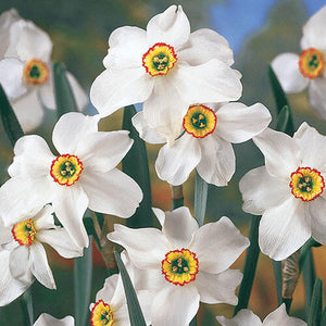 Daffodil Bulbs - Recurvus- 5 bulbs | Deer Resistant | Poet's | Pheasant's Eye | Old Pheasant's Eye | Fragrant