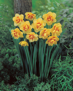 Daffodil Bulbs - Tahiti- 5 bulbs - Double flower yellow with orange ribbon | Deer Resistant