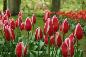 Tulip Bulbs - Candy Apple Delight- 5 bulbs - Candy Apple red tulip with white edges, very showy!
