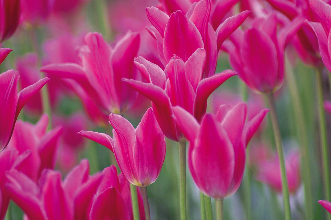 Tulip Bulbs -Maggie Daley - 5 bulbs -Lily shaped flowers | pink. Strong sturdy stem.